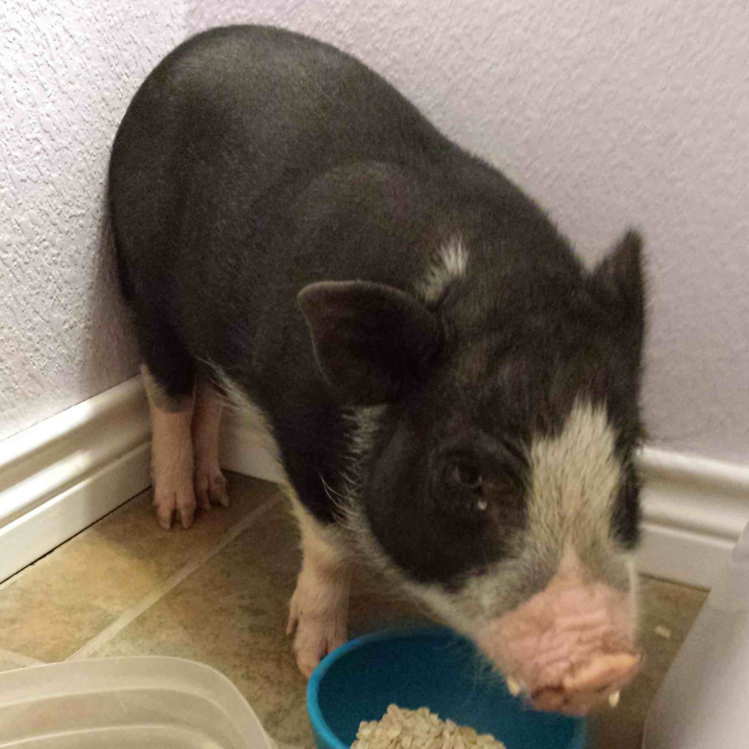 picture of piglet with food